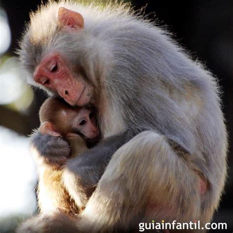 imagenes animales con sus crias los monos cuidan de sus cr 237 as instinto maternal de los