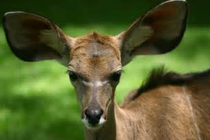 file kudu with big ears kenya jpg