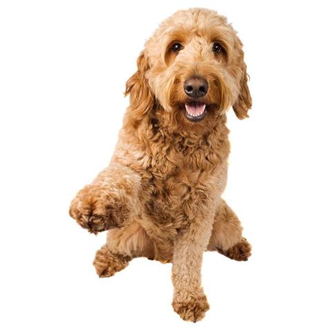 average lifespan of a goldendoodle groodle goldendoodle groodle goldendoodle pet insurance
