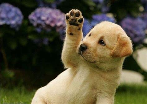 hi puppy puppy says hi 1funny