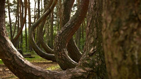 crooked forest in western poland mysterious facts photos of unknown travel destinations business insider