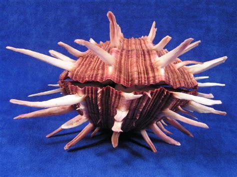 Regal Thorny Oyster Seashells - Spondylus regius