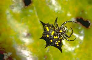 black and yellow spider 58 background wallpaper
