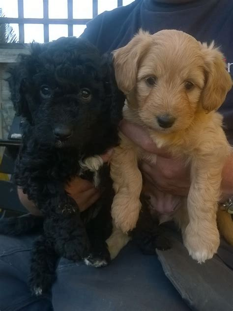 bordoodle puppies gorgeous bordoodle puppies scarborough pets4homes