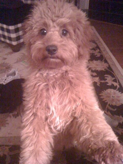 goldendoodle puppy growling 1000 images about new addition on f1b