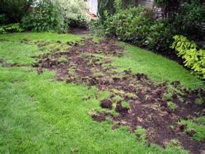 Deer Bed Racoon Lawn Damage Old Island Pest Control