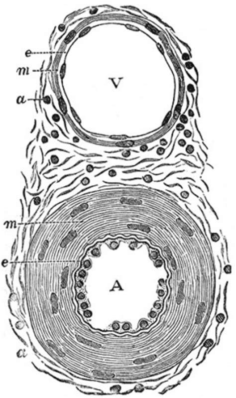 vasi mesenterici hm practical blood vessel histology embryology