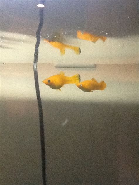 how much fish should i give my is my molly fish ready to give birth i a breeder tank ready but don t my