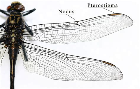 the wings of an insect are attached to this section insect wing wikipedia