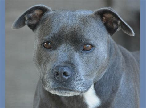 blue nose pitbull puppy price pitbull puppy tips the blue nose pit dogvills
