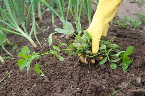 how to kill weeds in a vegetable garden garden weeds 8 most effective ways to get rid of them for
