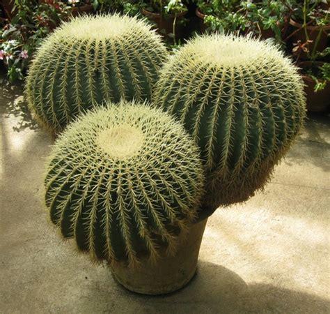 Tanaman Cactus 09 by 10 Jenis Tanaman Kaktus Hias Yang Dapat Ditanam Di Rumah