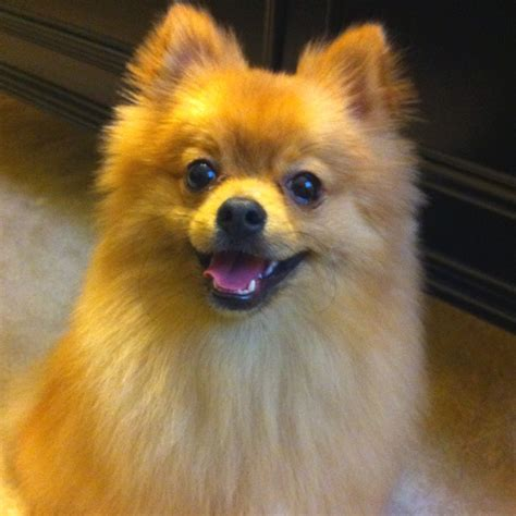 what causes seizures in pomeranians 983 best images about i pomeranians on