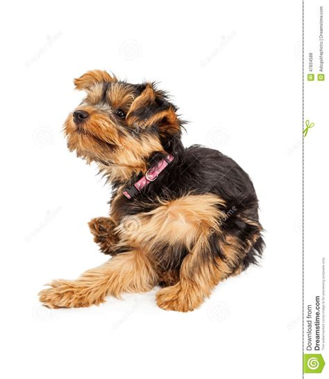 yorkie scratching teacup yorkie sitting and scratching and itch stock photo image 47834588