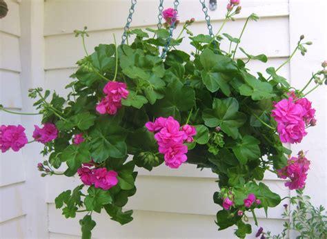 jill s garden landscape design pelargoniums and geraniums