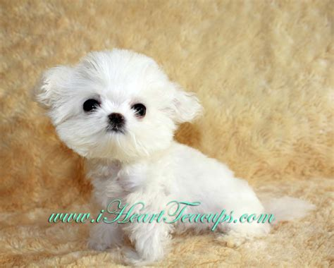 maltipoo pomeranian puppies micro teacup maltipoo pocket micro teacup puppy for sale
