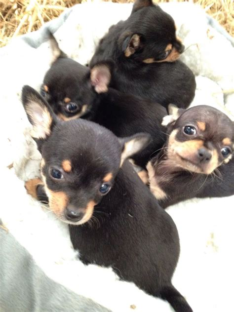 chihuahua puppies for sale ta black and chihuahua puppies www pixshark images galleries with a bite