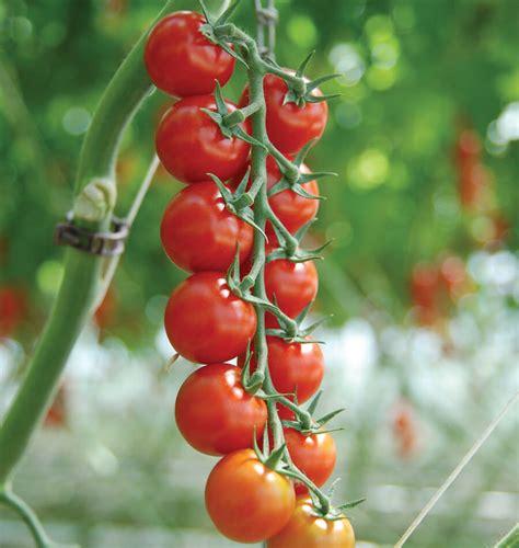 sakura organic tomato seeds
