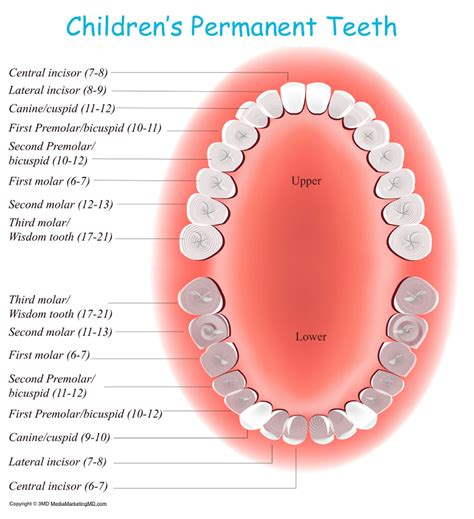 permanent teeth diagram illustration teeth image