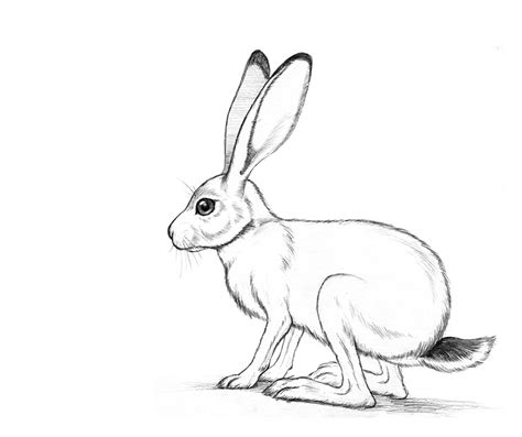jack rabbit drawing www pixshark com images galleries