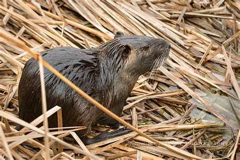 Sho Steroid Muskrat show me nature photography wildlife and nature