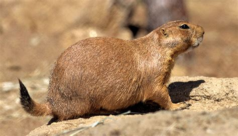pictures of prairie dogs image gallery prairie