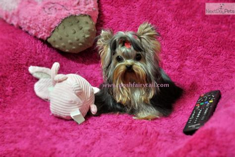 teacup yorkie for sale los angeles teacup pomeranian grownjapanese akita terrier yorkie for sale for near