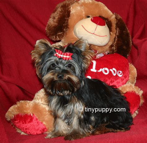 goldies yorkies teacup yorkie breeder breeds picture