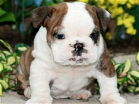 puppies for sale williamsport pa bulldogs for sale in pa