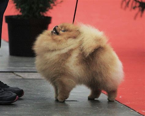 fluffy pomeranians fluffy pomeranian pomeranian fluffy adorable dogs