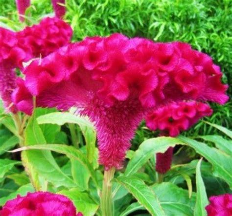Jual Bibit Bunga Pukul Empat jual bibit bunga cantik jual bibit bunga murah