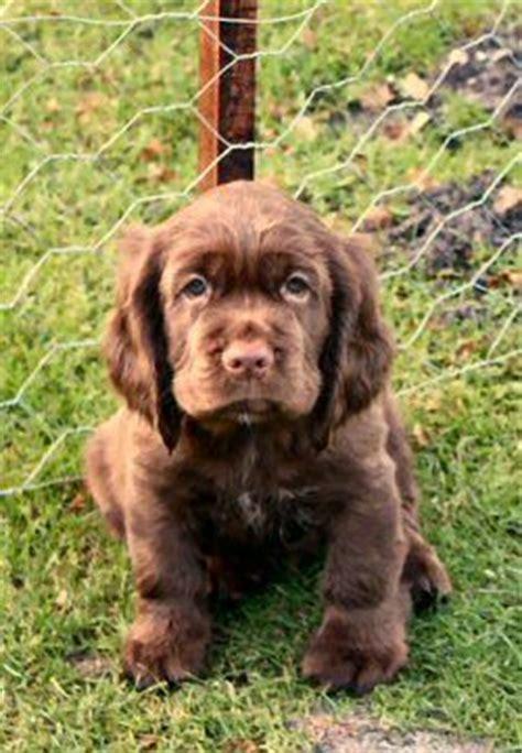 sussex spaniel puppies 25 best ideas about sussex spaniel on spaniel pupper doggo and