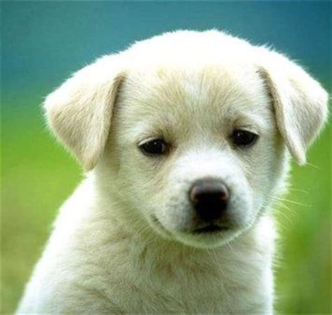 dog house for labrador retriever labrador retriever lab information all about the labrador retriever dog training