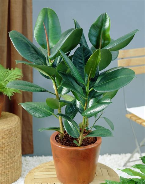 rubber fig rubber tree plant care growing rubber tree houseplant
