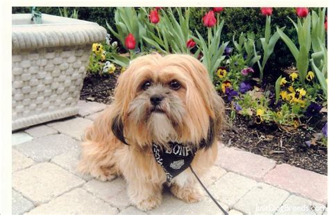 Do Lhasa Apso Shed by How To A Lhasa Apso Breeds Picture