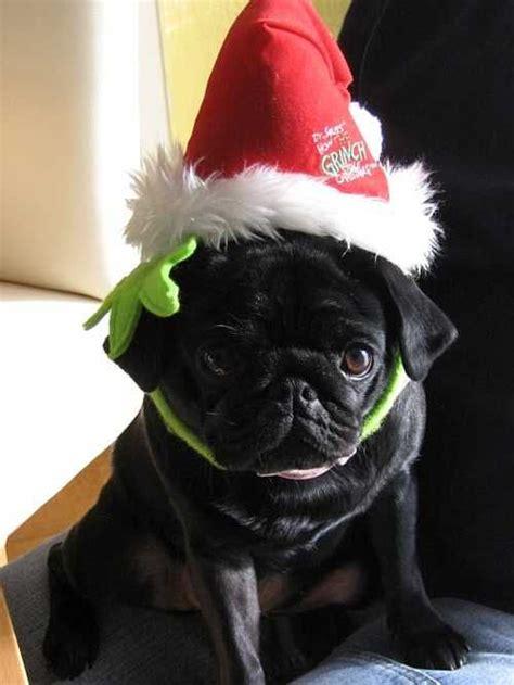 pug in santa hat santa hat pug k9