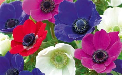 anemone fiore significato significato dell anemone nel linguaggio dei fiori
