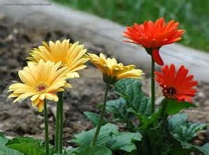 flowers pictures picture of tropical flower gerbera