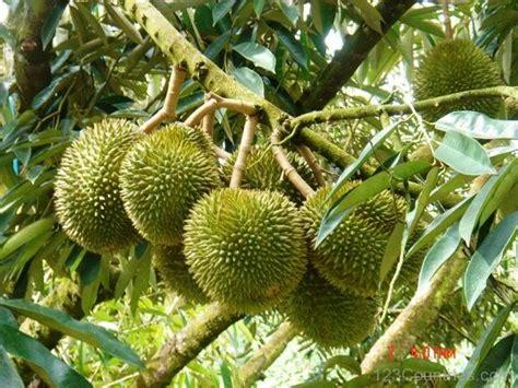 Benih Durian Musang King Untuk Dijual national fruit of indonesia durian 123countries