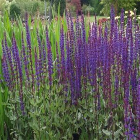 Abc Gift Cards Bbb - onlineplantcenter 1 gal caradonna perennial sage plant s4171g1 the home depot