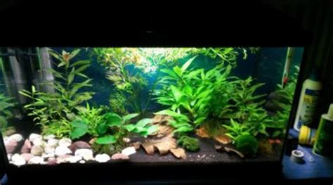 Mon Aquarium 54l Communautaire Foug 232 Re De Sumatra Ceratopteris Thalictroides