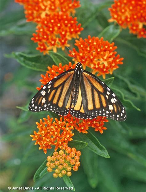 Monarch Garden by Butterfly Milkweed Ppa S 2017 Plant Of The Year Janet