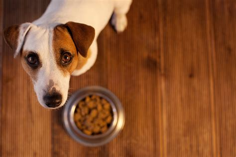 table manners  dog   happy jack russell