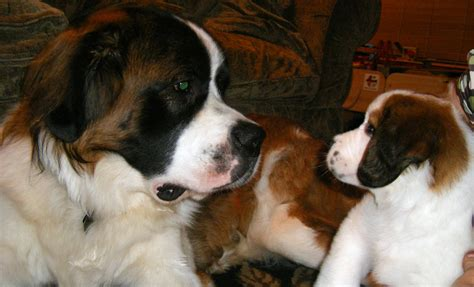 how much are st bernard puppies 1000 images about stunning st bernards on pets st bernards and puppys
