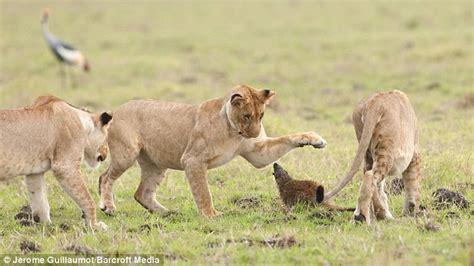 Singa Si Raja Rimba wow luwak mini ini buat empat singa di padang rumput lari