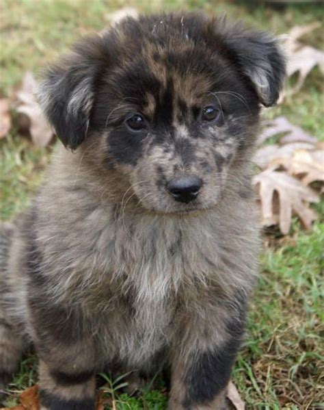 puppy chow mix best 25 chow chow mix ideas on chow chow dogs chow chow husky mix and