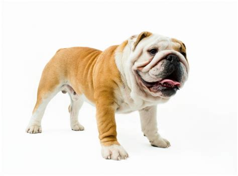 medium non shedding dogs breeds picture