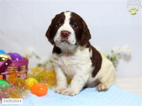 springer spaniel puppies for sale in pa 25 b 228 sta spaniel puppies for sale id 233 erna p 229 king charles spaniels