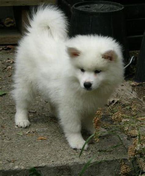American Eskimo Shed by 25 Best American Eskimo Puppy Ideas On