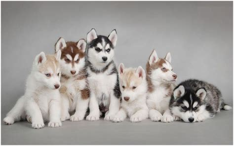 husky puppy facts alaskan husky facts pictures puppies breeders characteristics diet information